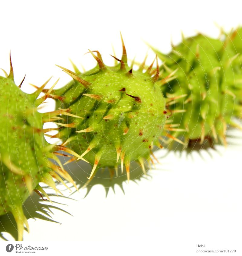 Green Summer Yellow Fresh Threat Round Ball Toys Caution Thorny Isolated Image Thorn Pierce Extraterrestrial Sweet chestnut Chestnut tree