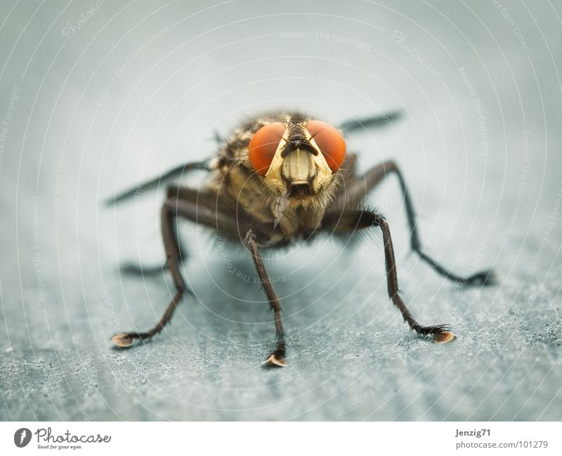 Fly Flying Wing Insect Calculation Pests Annoy Flesh fly