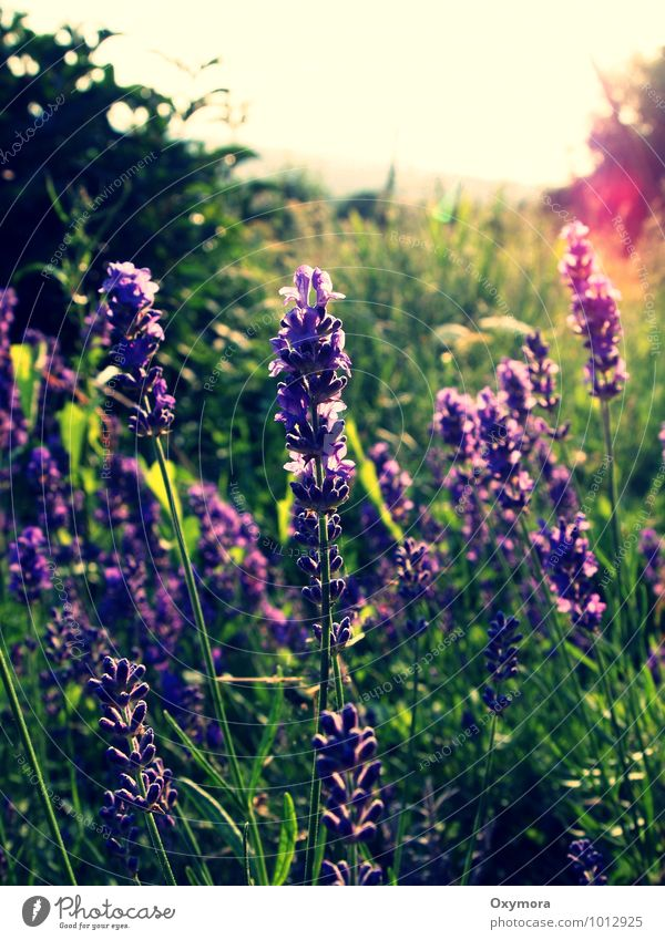 summer Nature Plant Flower Lavender Garden Meadow Observe Blossoming Fragrance Green Violet Calm Sustainability Contentment Colour photo Exterior shot Day