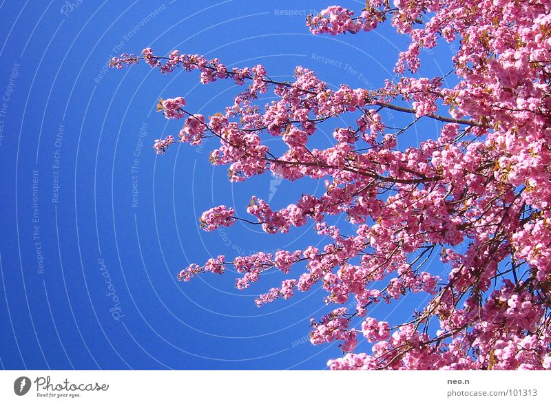 Sky Nature Blue Tree Colour Spring Blossom Pink Park Beautiful weather Fresh Blossoming Cloudless sky Fragrance Exotic Cherry blossom