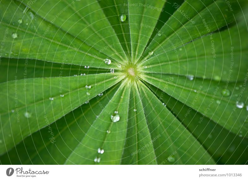 blasting star Plant Water Drops of water Bushes Leaf Foliage plant Green Leaf green Rachis Part of the plant Radial Central Middle Exterior shot Close-up Detail