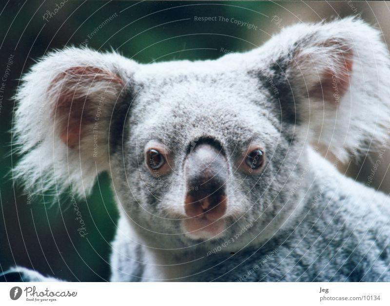 koala Koala Animal