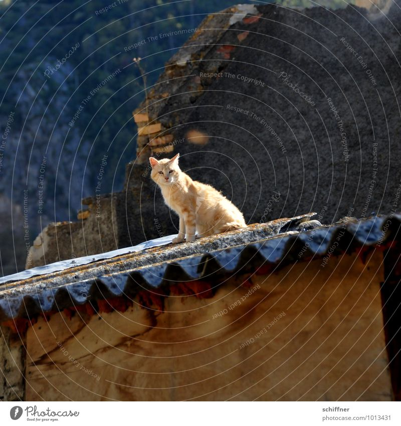 The cat on the hot tin roof Roof Animal Cat 1 Looking Sit Pet House (Residential Structure) Romance Corrugated sheet iron Corrugated-iron hut Hut Pyrenees