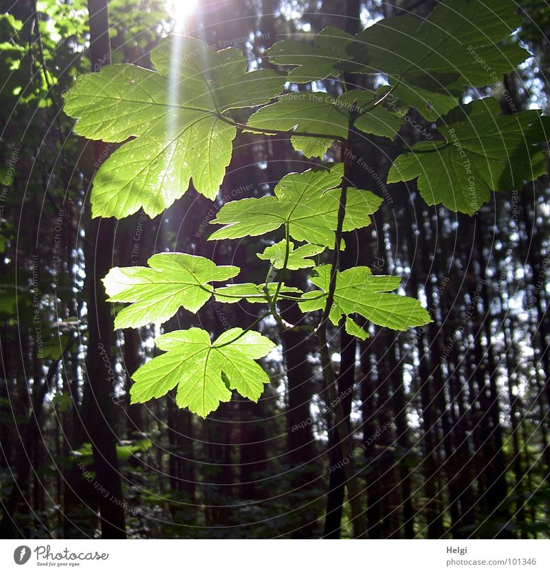 Branch with fresh bright leaves in sunlight Leaf Forest Tree Maple tree Maple leaf Sunbeam Light Back-light Green Yellow Brown Tree trunk Summer Forest walk Joy