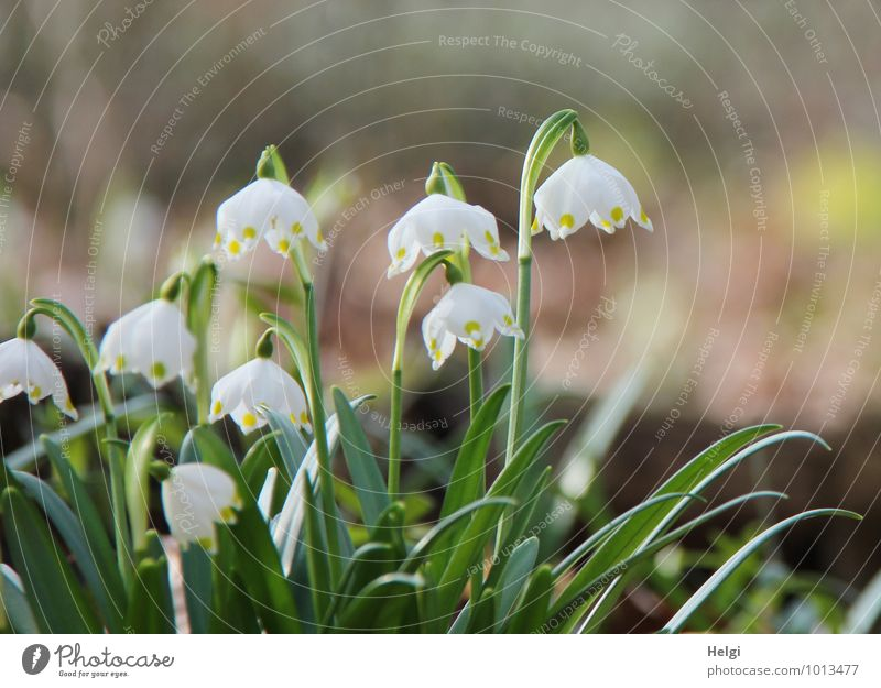ring in spring... Environment Nature Landscape Plant Spring Beautiful weather Flower Leaf Blossom Wild plant Spring snowflake Spring flowering plant Forest