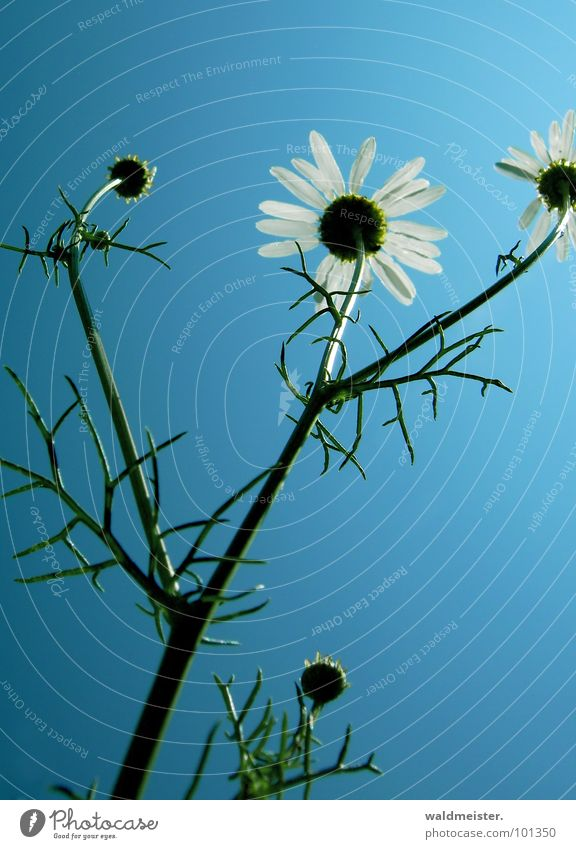 Chamomile and sky I Back-light Flower Blossom Medicinal plant Meadow flower Sky Summer Green White Blue Delicate