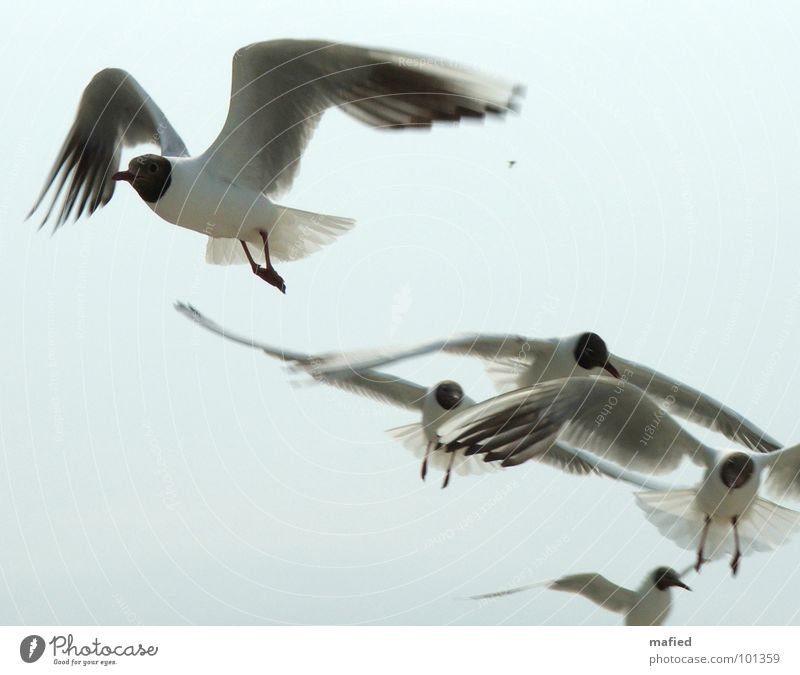 Sky White Blue Bird Flying Aviation Wing Silver Seagull Thief Feed Robbery Purloin Animal Black-headed gull  Beg