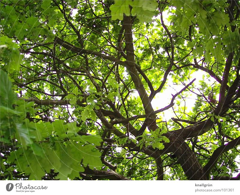 leaf canopy Tree Leaf Green Sunbeam Branchage Tree trunk Brown Summer Light Weather protection Protection Shadow