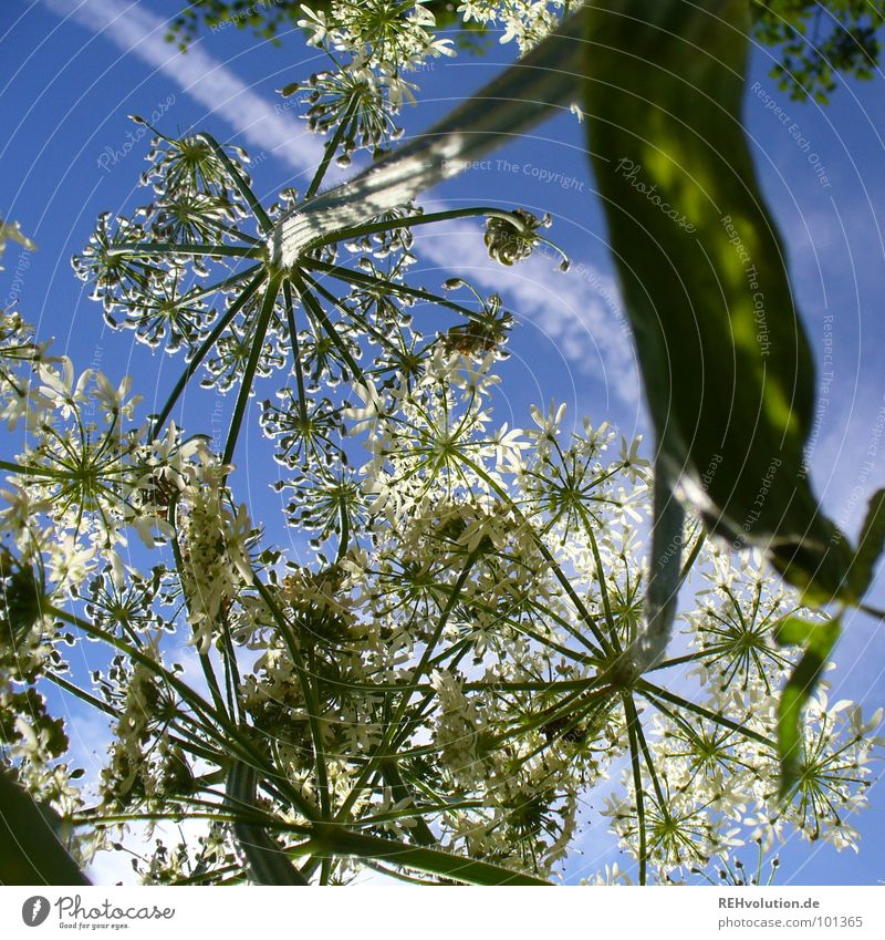 Sky White Flower Green Blue Plant Summer Clouds Life Meadow Blossom Air Bright Lighting Power Force