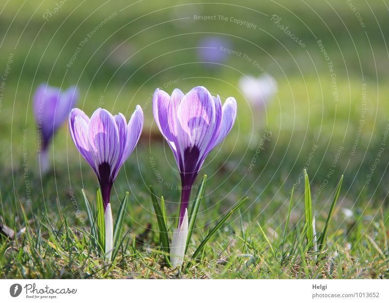 spring flowers... Environment Nature Landscape Plant Spring Beautiful weather Flower Grass Leaf Blossom Crocus Spring flowering plant Park Meadow Blossoming