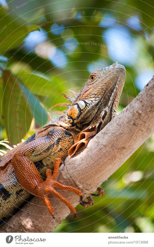 iguana Vacation & Travel Adventure Summer vacation Environment Nature Animal Beautiful weather Branch Mangrove Forest Virgin forest Caribbean Wild animal Iguana