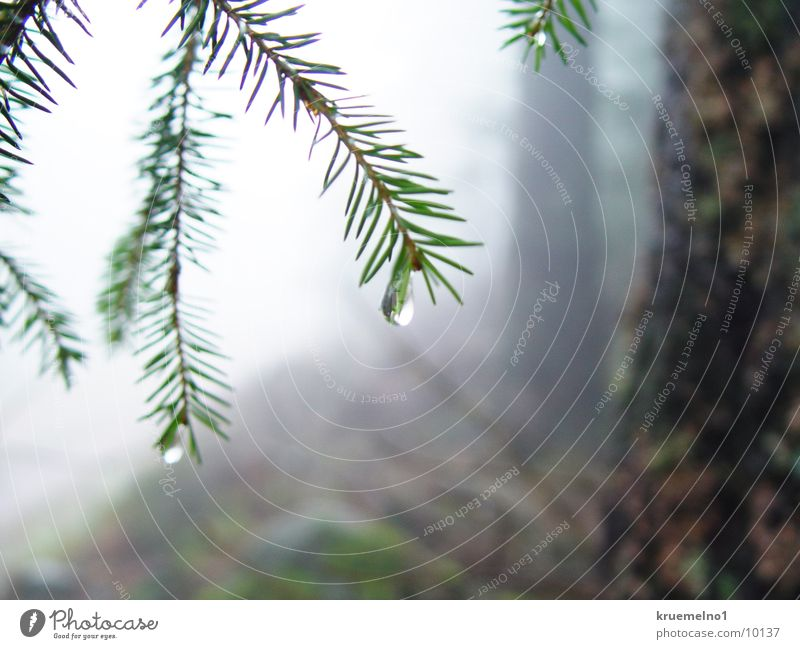 water drops Drops of water Coniferous trees Forest Twig Fir needle