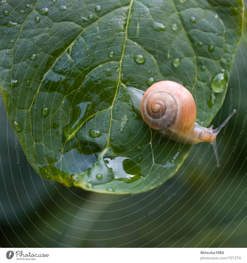 rainy weather Garden Nature Animal Water Drops of water Rain Leaf Snail Crawl Wet Speed Green Snail shell Slowly Mollusk Colour photo Exterior shot Close-up