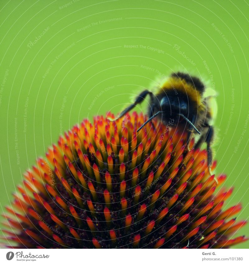 Nature Green Red Plant Flower Blossom Legs Orange Flying Dangerous Circle Point Tea Bee Insect