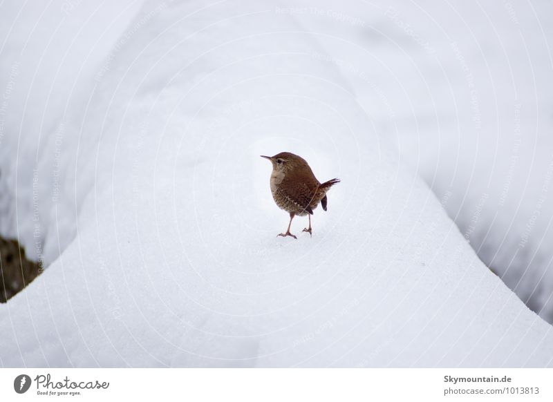 Wren or better snow king? Nature Animal Winter Climate Climate change Weather Beautiful weather Bad weather Storm Ice Frost Snow Snowfall Garden Park Meadow