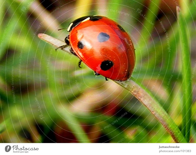 cul-de-sac Ladybird Insect Sweet Sincere Grass Blade of grass 7 Seven-spot ladybird Red Green Summer Good luck charm Joy Beetle ladybug Happy lucky insects