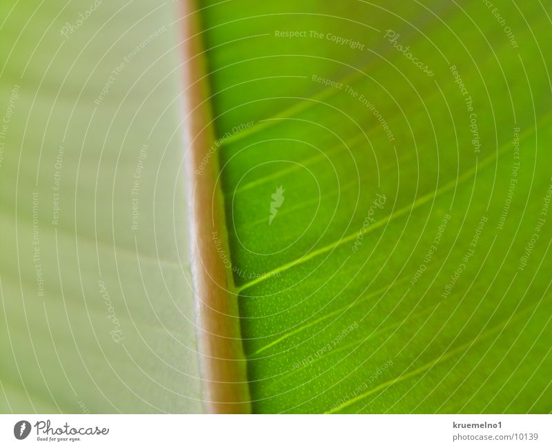 Green Plant Leaf Rubber tree Underside of a leaf