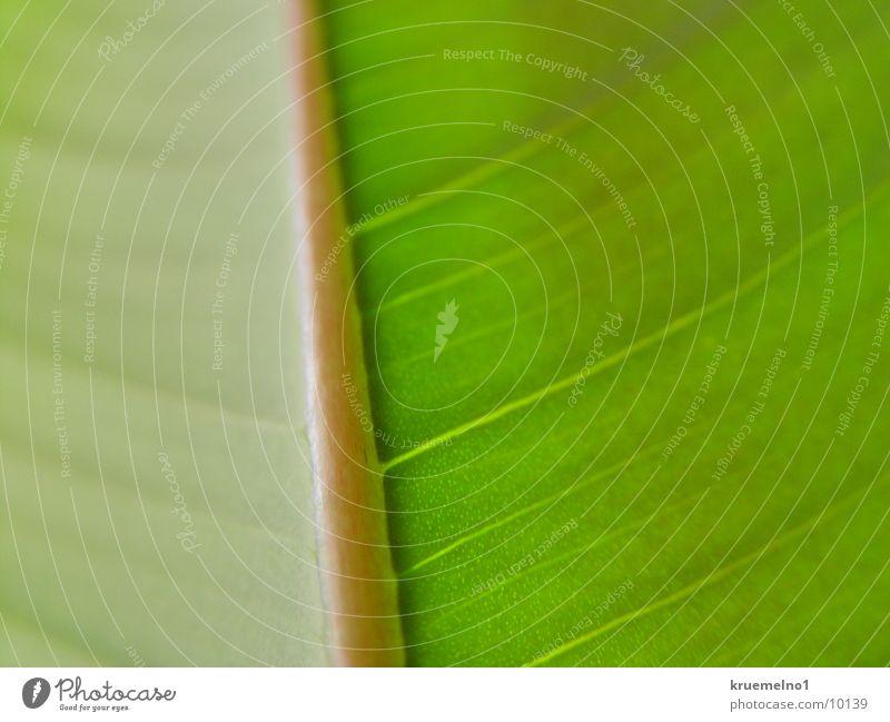 underside of a sheet Underside of a leaf Rubber tree Leaf Plant Green