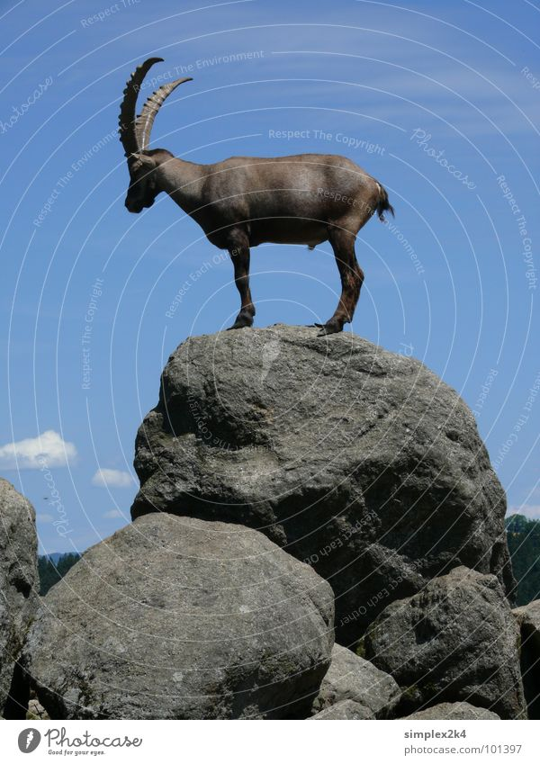 Sky White Blue Clouds Animal Freedom Gray Stone Rock Tall Wild animal Mammal Antlers Capricorn