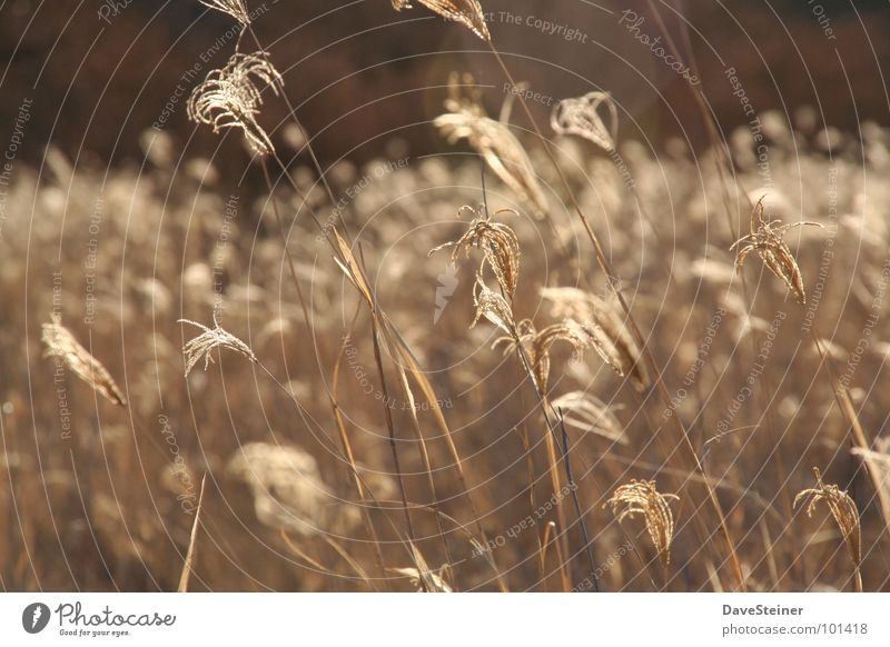 Grasses under the African sun Common Reed Brown Beige Grain reflection Rope