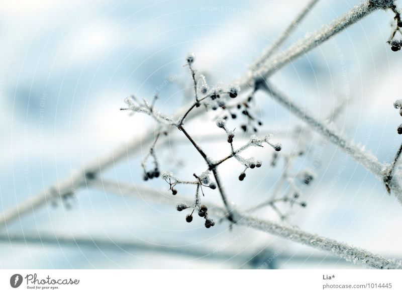 frozen branches Nature Ice Frost Bushes Freeze Cold White Winter mood Frozen Ice crystal Detail Copy Space top quick-frozen chill
