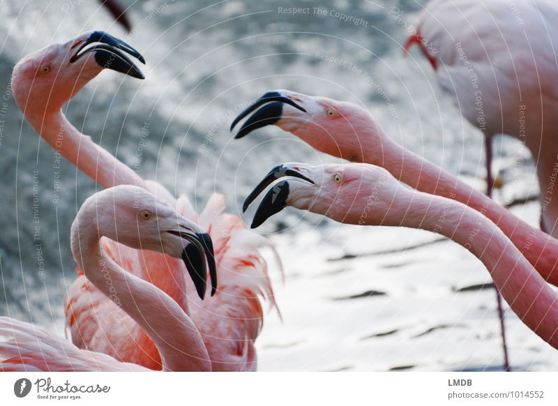 2 against 2 Animal Wild animal Bird Flamingo Zoo 4 Group of animals Pink Envy Grouchy Animosity Aggression Force Beak Argument Neck Attack Aggressive Feather