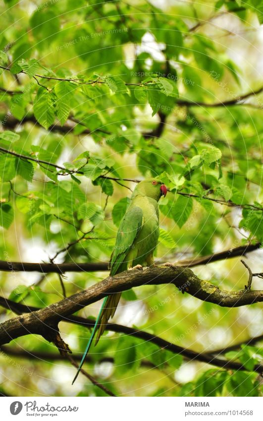 rose-ringed parakeet sitting in the tree Calm Agriculture Forestry Plant Animal Tree Bird Flock Growth Green Branch Twig branches organic Biological