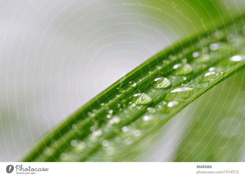 leaves with many water drops Calm Agriculture Forestry Plant Drops of water Leaf Growth Green organic Biological biologically sheet folio Deciduous tree