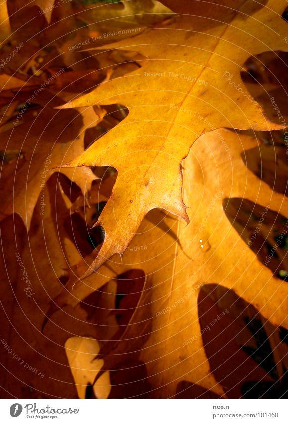 Nature Tree Colour Leaf Forest Yellow Autumn Park Gold Beautiful weather Seasons Autumn leaves Autumnal Maple leaf Maple tree Deciduous tree