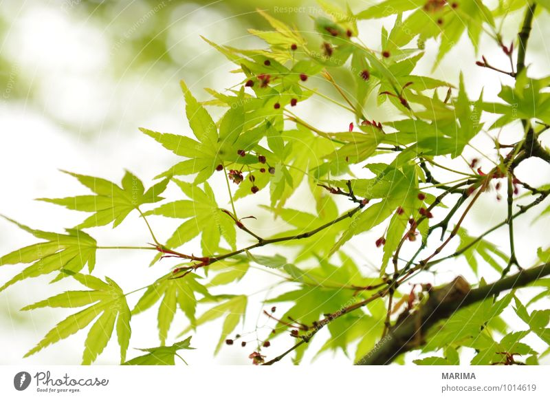 Detail of the foliage of Japanese Maple Calm Agriculture Forestry Plant Leaf Growth Green White Maple tree maple acer Branch Twig branches organic Biological