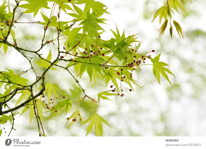 Detail of the foliage of Japanese Maple Calm Agriculture Forestry Plant Tree Leaf Growth Green White Maple tree maple acer Branch Twig branches organic