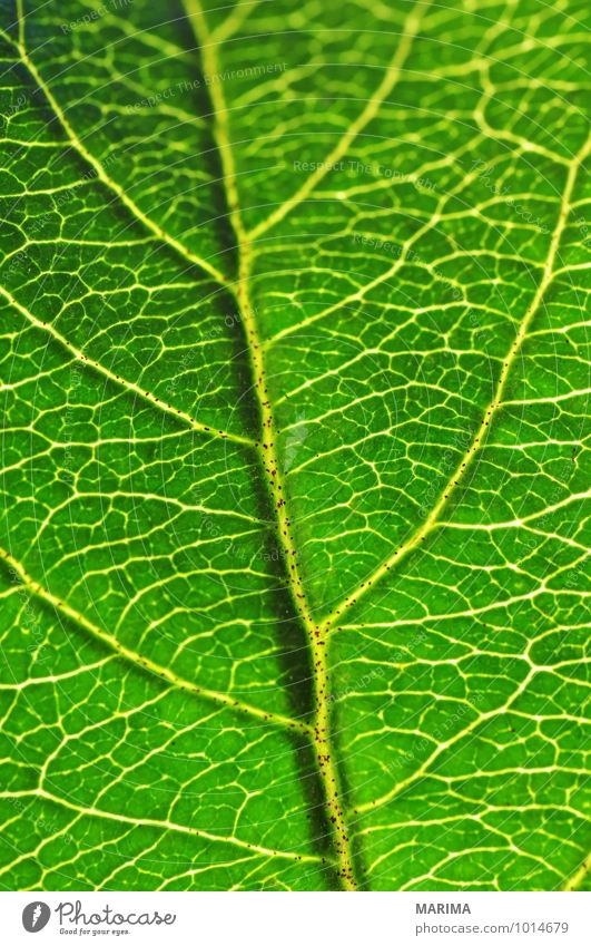 Macro shot of a leaf Calm Agriculture Forestry Plant Leaf Growth Green organic Biological biologically sheet leaf blade folio Deciduous tree broadleaf