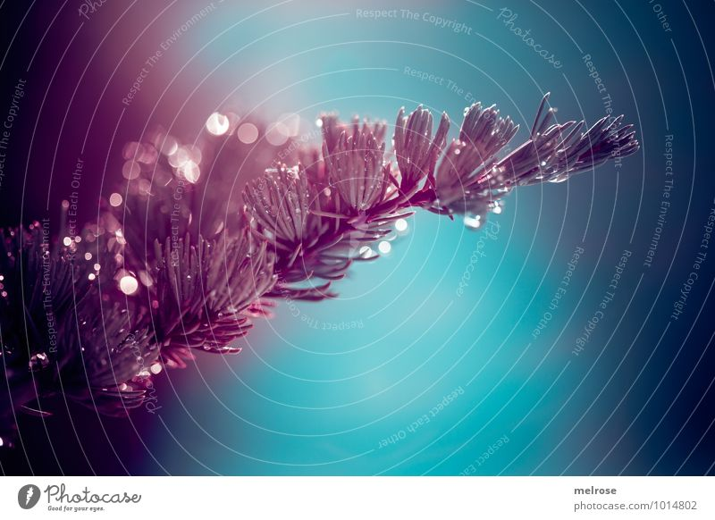 """turquoise-violet Nature Drops of water Winter Beautiful weather Tree Coniferous trees Fir tree Fir branch Park Forest """"Light points,"""" bokeh Bright spot"""