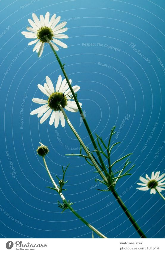 Chamomile and Sky II Back-light Flower Blossom Medicinal plant Meadow flower Summer Green White Blue Delicate