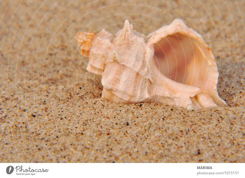 Shell in the fine sand Nature Animal Sand Mussel Brown White Beige shell mustel bivalvia Grain of sand Close-up