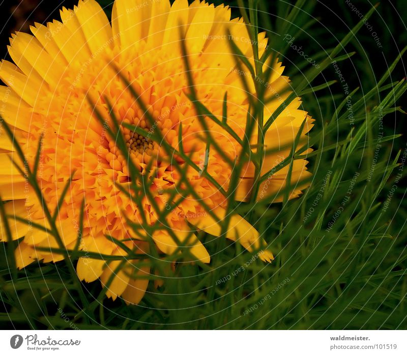behind leaves Marigold Flower Blossom Flowerbed Plant Medicinal plant Meadow Garden Summer Mysterious Hidden Green Orange Delicate