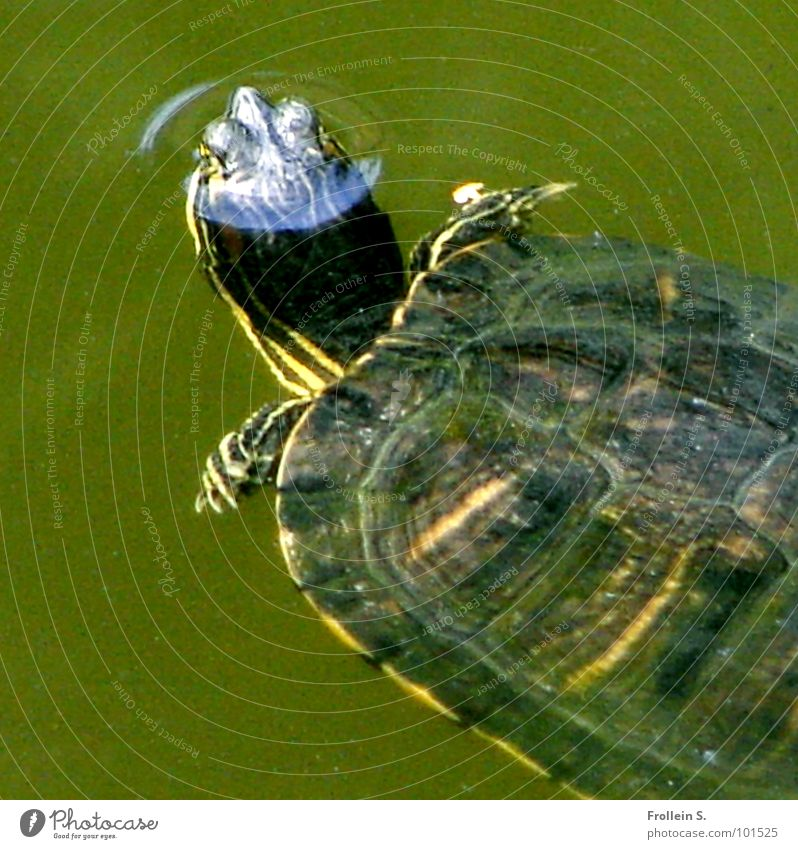 pond animal Green Turtle Air bubble Well-being Breathe Beautiful Water Armor-plated paddle fins Structures and shapes