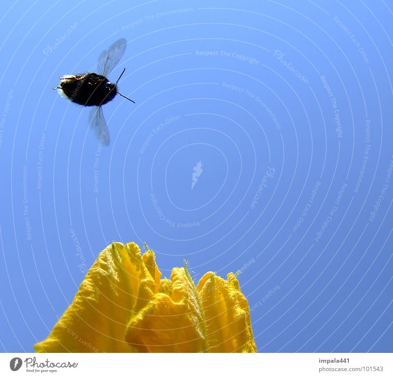 Sky Flower Blue Summer Yellow Blossom Flying Aviation Wing Insect Bee Sail Feeler Bumble bee Honey Stamen
