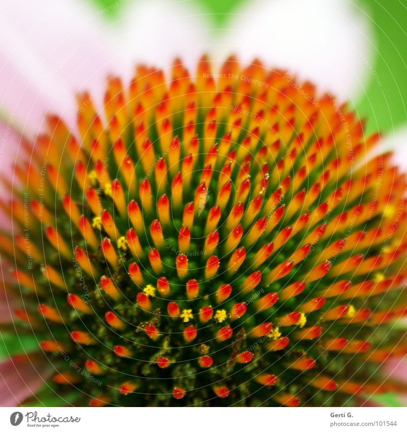Nature Green Red Plant Flower Yellow Blossom Healthy Orange Pink Circle Round Point Delicate Tea Symmetry