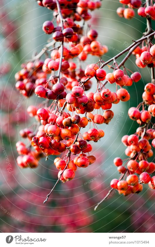 Red Apples Plant Winter Tree Fruit trees ornamented apple Apple tree Fresh Natural Juicy Sour Colour photo Multicoloured Exterior shot Close-up Deserted