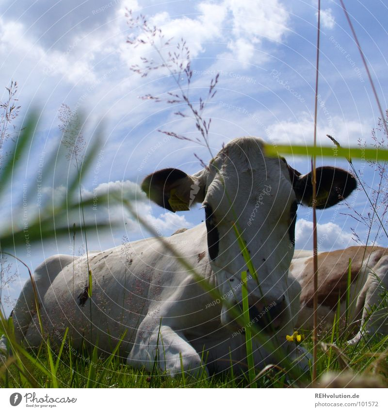 lie cool Cow Meadow Grass Spotted mountain cattle Livestock Animal Relaxation White Doze Moo Mammal Summer Dappled Farm animal Sky Muzzle lie around midday heat