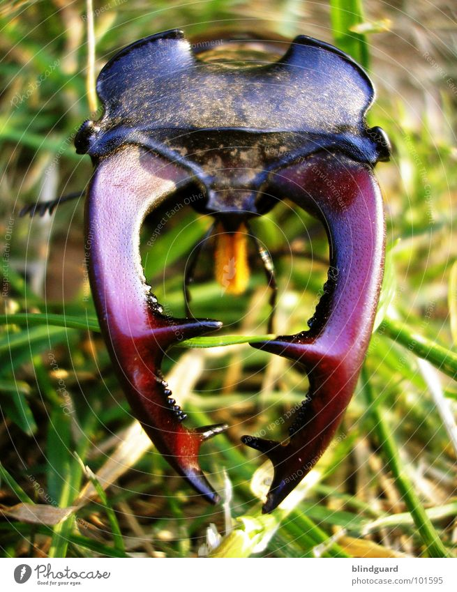 Lucanus cervus [1] Stag beetle Threat Antlers Pair of pliers Red Auburn Grass Green Large Hazard-free Insect Environmental protection Oak tree Oak forest