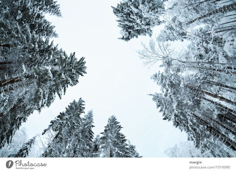 ghost spruces Environment Nature Sky Winter Climate Climate change Weather Ice Frost Snow Snowfall Tree Foliage plant Forest Freeze Growth Success Together