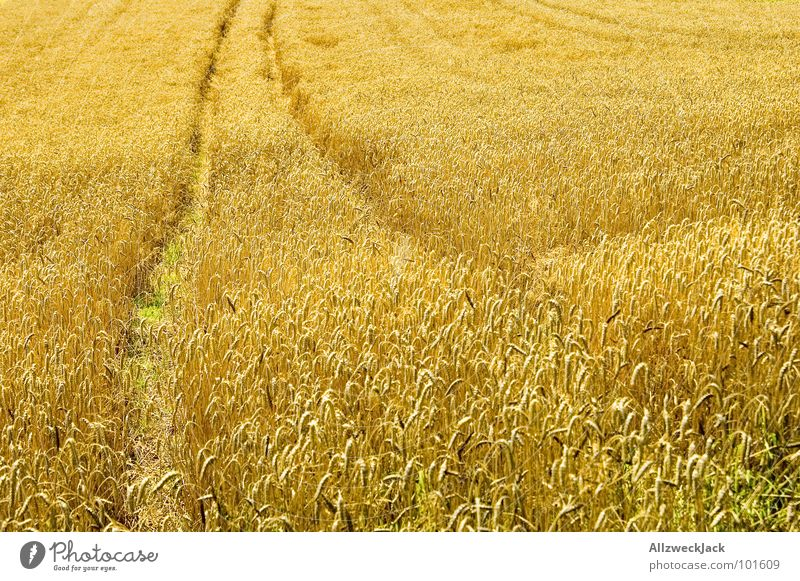 Summer Warmth Field Gold Physics Tracks Hot Grain Agriculture Americas Cute Harvest Grain Tractor Rural Ear of corn