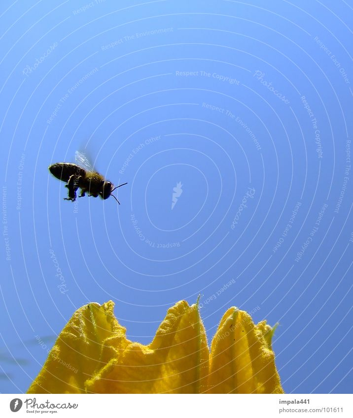 bee in approach Bee Honey Blossom Flower Insect Summer Yellow Floating Simple Blue Wing Flying Bright background Isolated Image Sprinkle