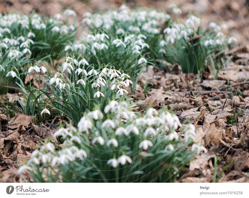 in the spring forest... Environment Nature Landscape Plant Spring Beautiful weather Flower Leaf Blossom Wild plant Snowdrop Spring flowering plant Woodground