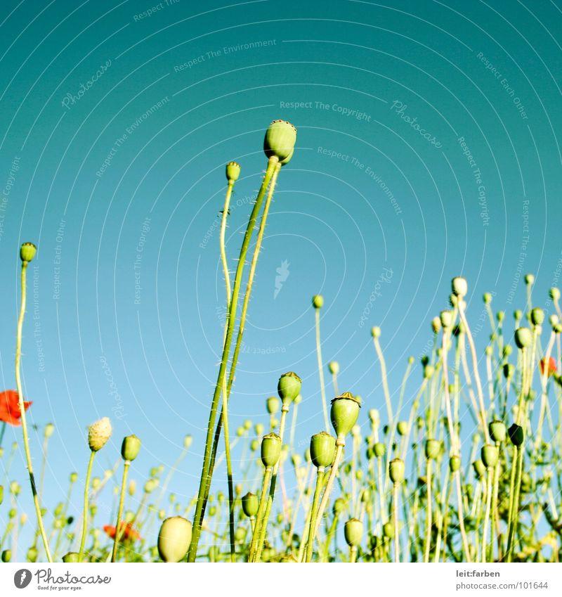 Nature Flower Green Blue Plant Red Summer Joy Blossom Stalk Poppy Easy Bud Light heartedness Airy