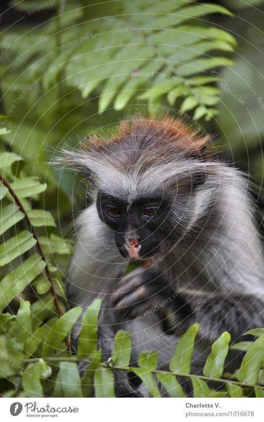 hmm... Safari Plant Animal Fern Virgin forest Jozani Forest Zanzibar Tansania Africa Tourist Attraction Wild animal Monkeys Red Colobus 1 Eating To feed