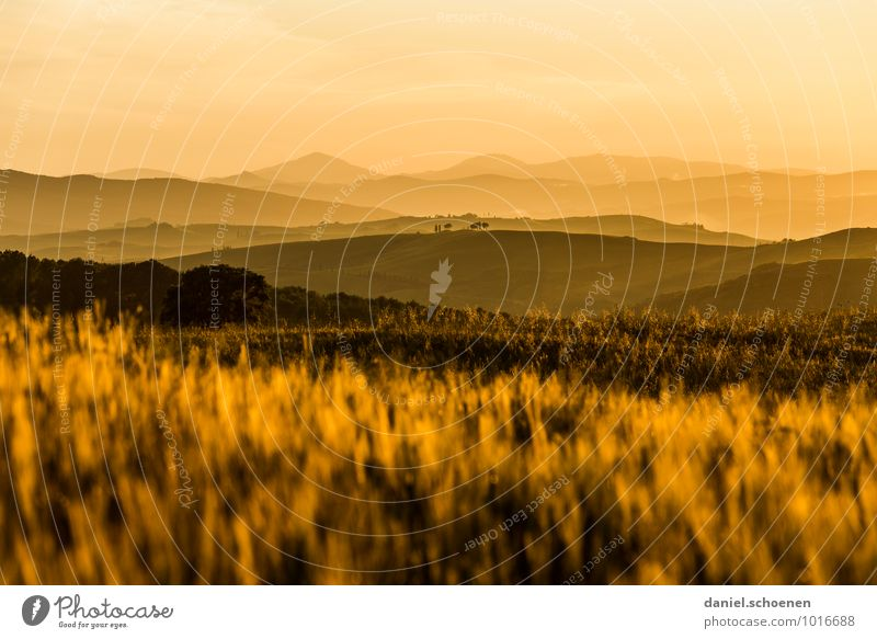 Tuscany golden yellow Nature Landscape Sunrise Sunset Sunlight Grass Agricultural crop Hill Yellow Gold Calm Vacation & Travel Far-off places Multicoloured