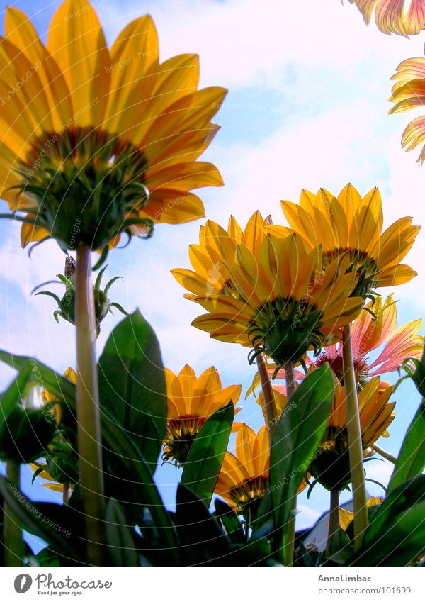 noonday gold Flower Sunflower Gazania Livingstone daisy Botany Yellow Summer Deserted Vertical Blossom Landscape Maturing time Plant Orange Graffiti Sky Nature